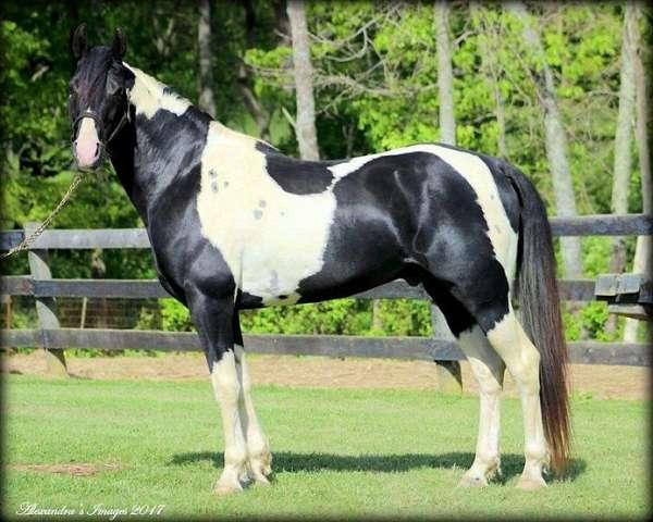 tobiano-black-white-horse