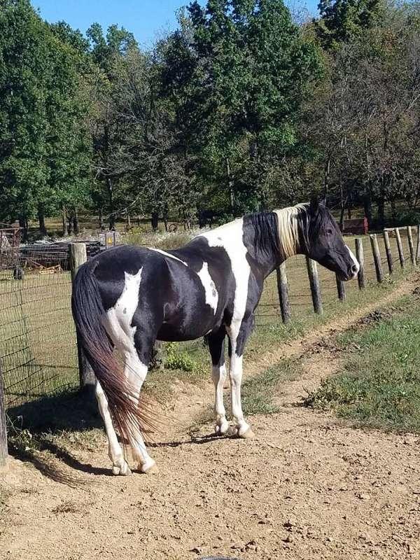 tobiano-missouri-fox-trotter-stallion