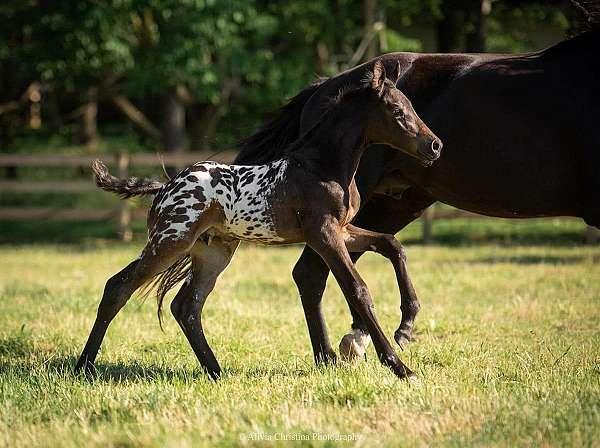equitation-knabstrupper-horse