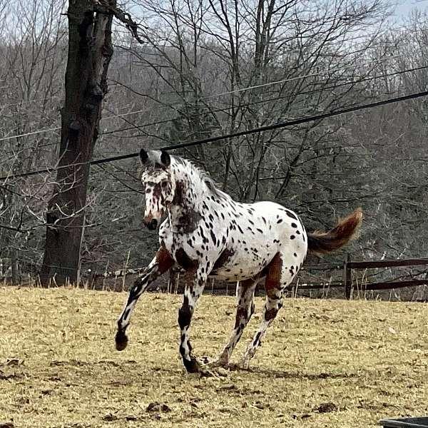 sport-knabstrupper-horse