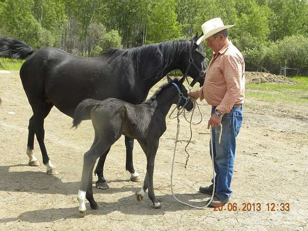 black-lffore-leg-horse