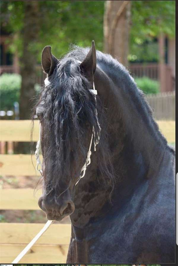 friesian-horse