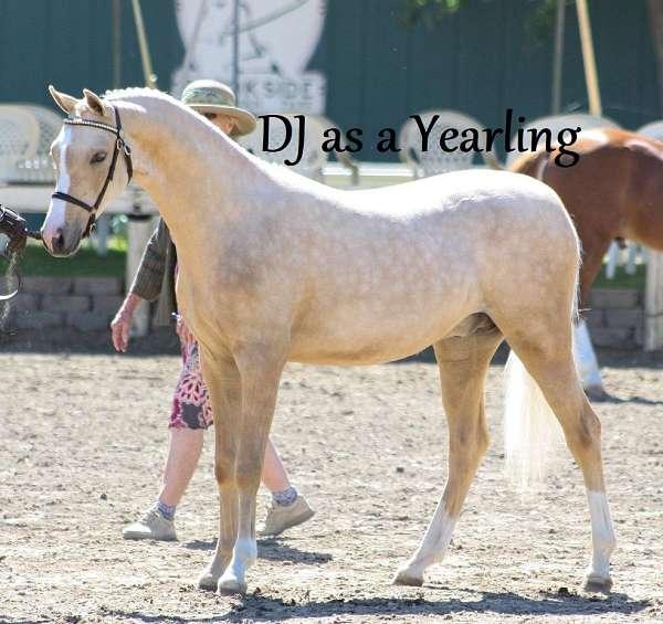 yellow-welsh-pony