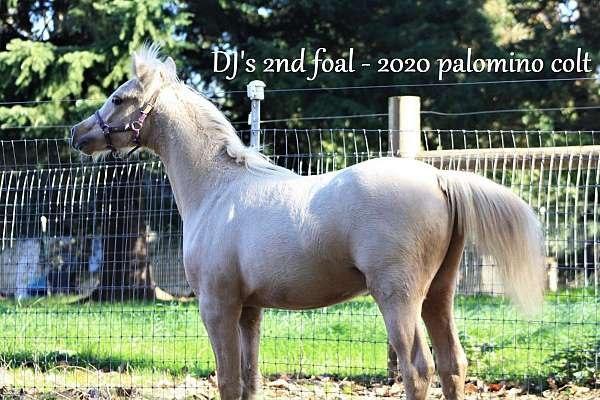 sport-welsh-pony