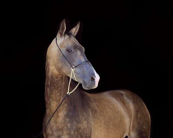 stud-akhal-teke-horse