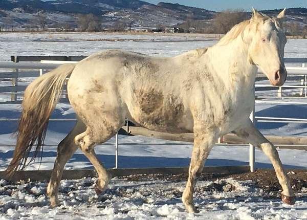 dominant-white-horse