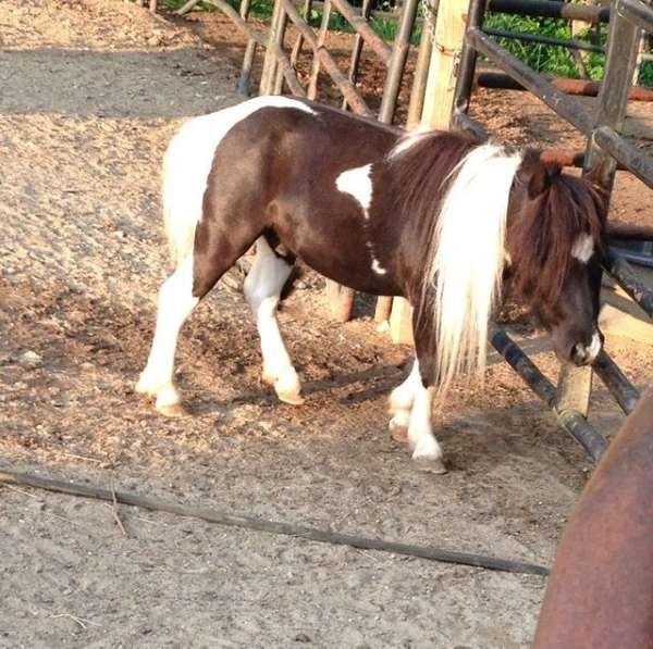 homozygous-miniature-horse