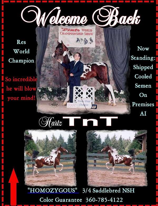 bay-homozygous-tobiano-horse