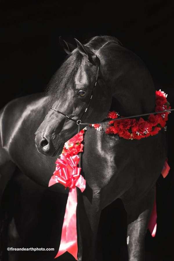 retired-arabian-horse