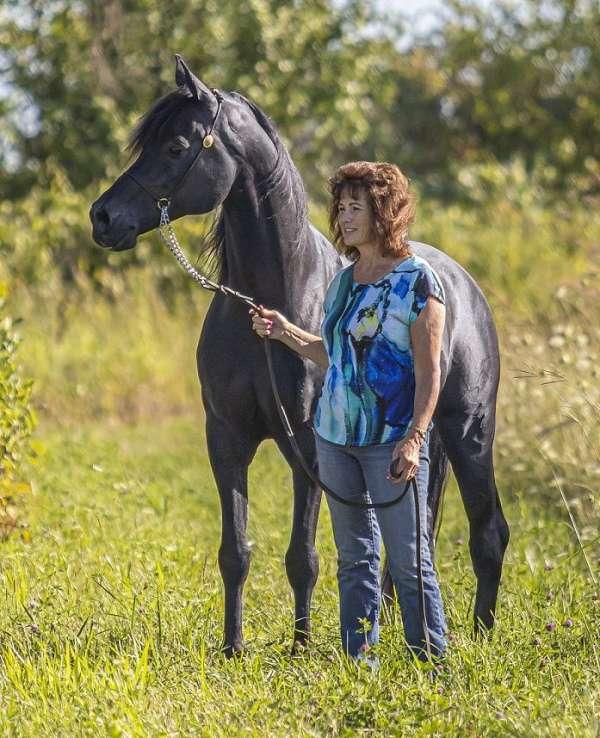 sport-arabian-horse