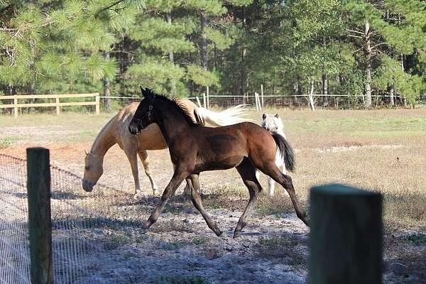 bay-show-winner-horse