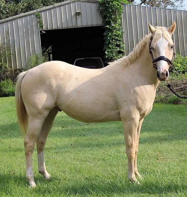 palomino-halter-horse
