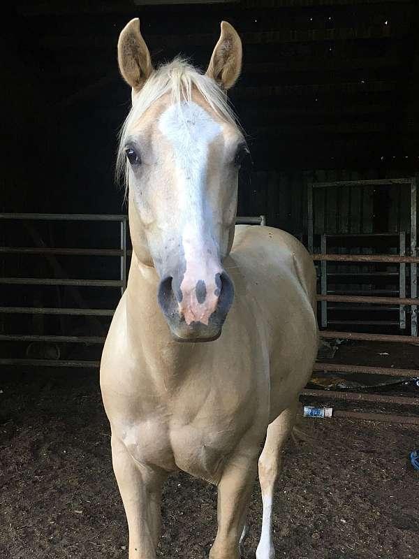 palomino-roping-horse