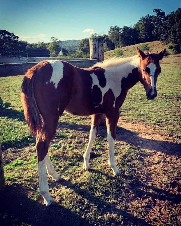 pedigree-paint-horse