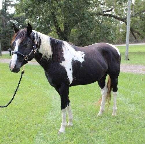 black-cutting-horse