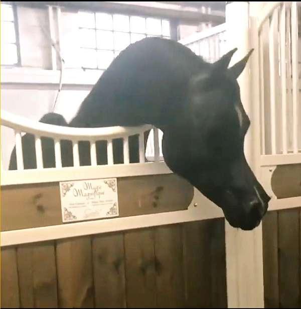 black-tiny-star-hind-fetlocks-white-horse