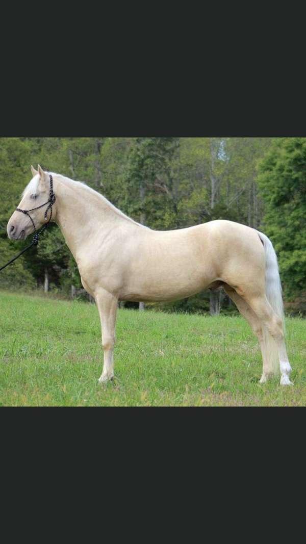 rocky-mountain-stallion