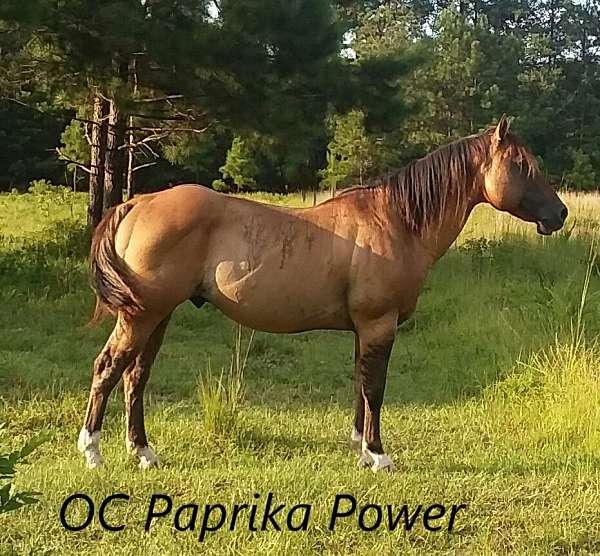 foundation-bred-dun-factor-quarter-horse