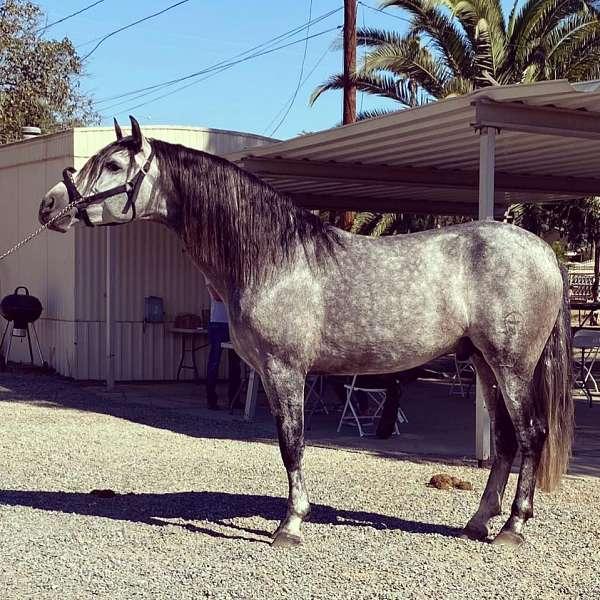 longe-line-andalusian-horse