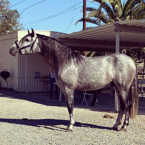 longe-line-andalusian-horse