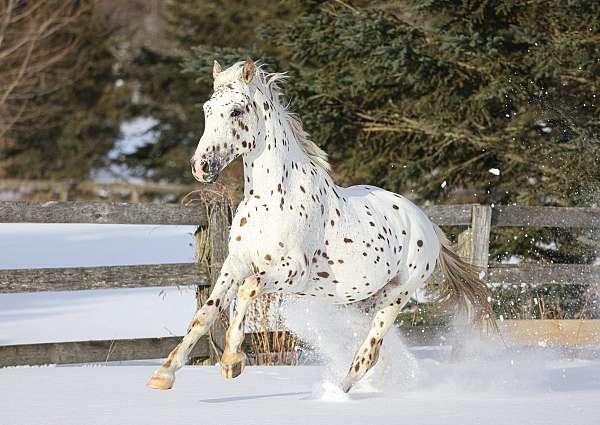 knabstrupper-stallion