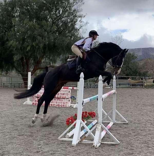 eventing-hanoverian-horse