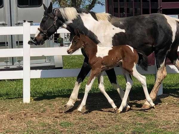 hanoverian-horse-for-sale