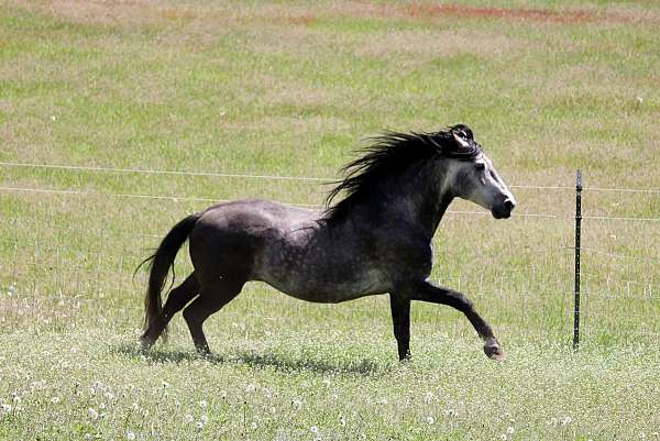 grey-andalusian-for-sale