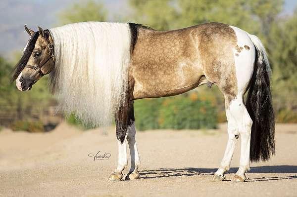 buckskin-homozygous-horse