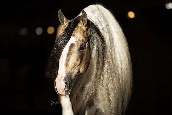 buckskin-tri-color-horse