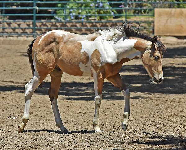 tri-color-horse