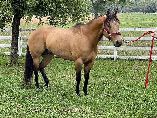 buckskin-phba-stallion