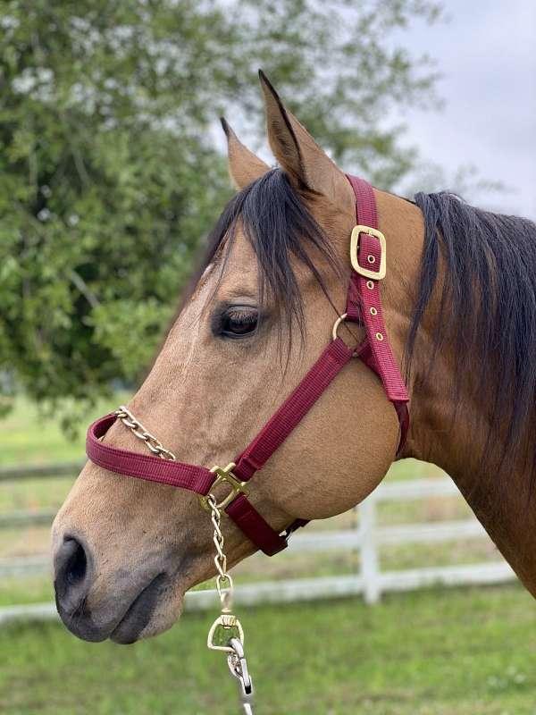 buckskin-phaa-stallion