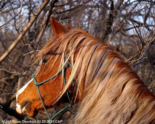 kehilan-arabians-horse