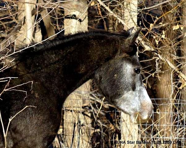 al-marah-arabian-horse