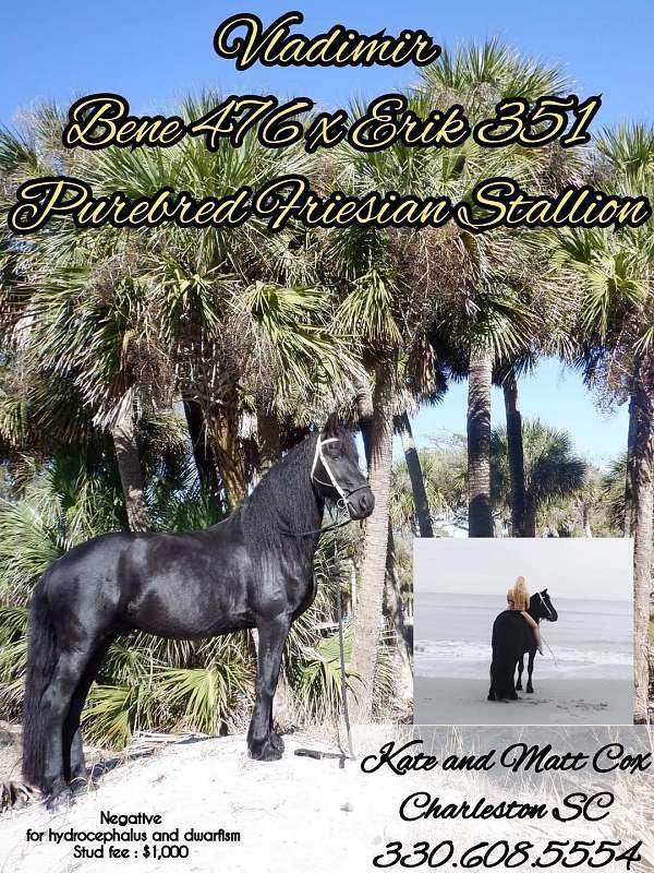 friesian-stallion
