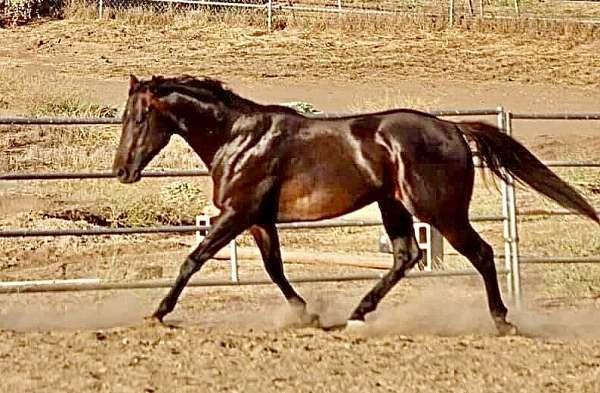 thoroughbred-stallion