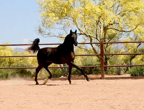 for-sale-arabian-horse