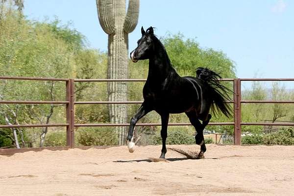 mare-arabian-horse