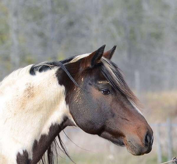 tobiano-mustang-stallion