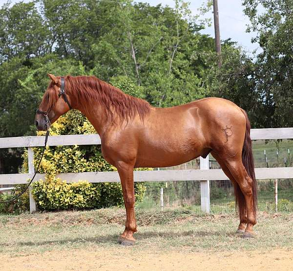 third-level-dressage-andalusian-horse