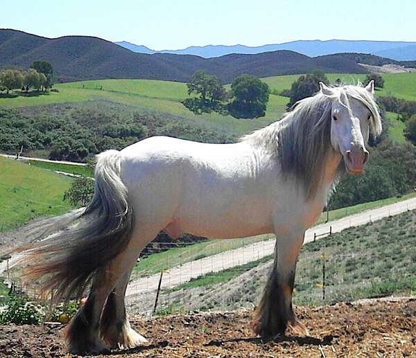 bay-gypsy-vanner-stallion