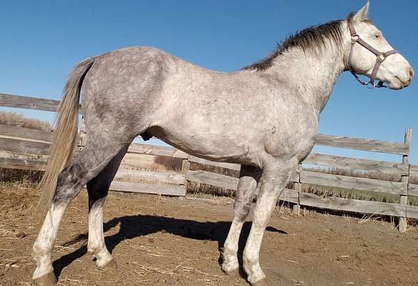 grey-white-horse-for-sale