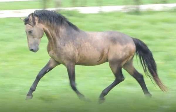 connemara-stallion-pony