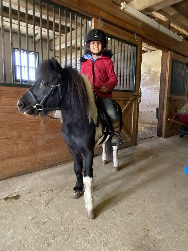 stud-service-miniature-horse