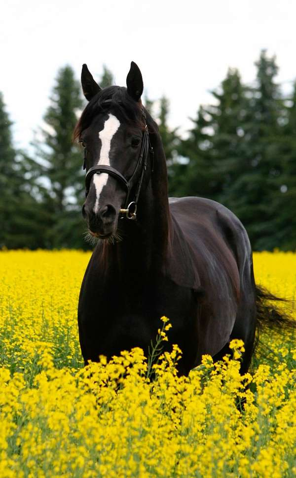 registered-warmblood-horse