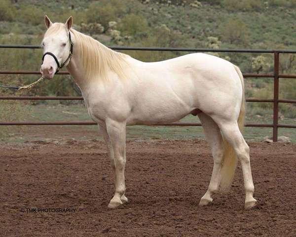 roping-arabian-horse