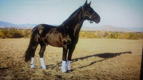 andalusian-horse-for-sale