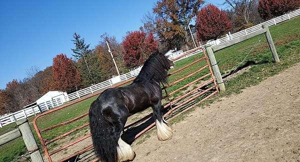 gypsy-vanner-stallion
