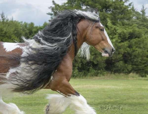 tri-colored-bay-white-horse